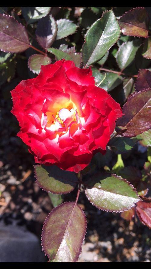rosa garden spring