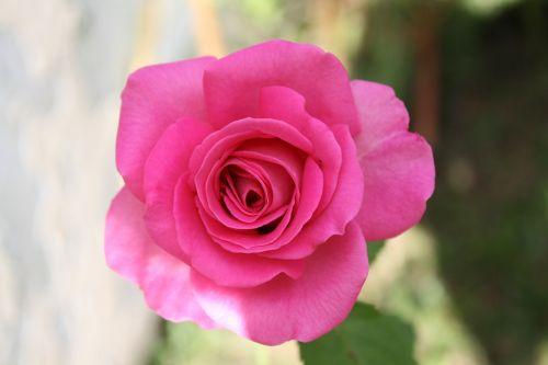 rosa petals garden