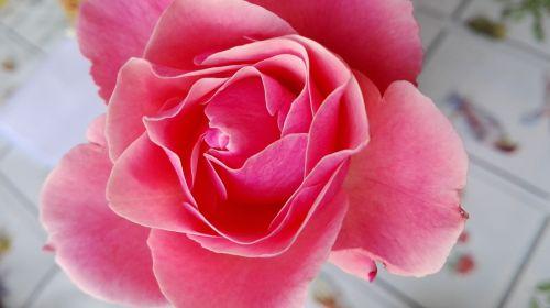 rosa fiore natura