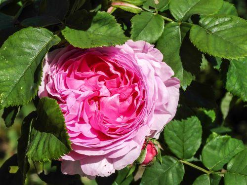 rosa rosebush flower