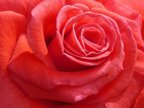 rosa  petal  flower