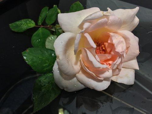 rosa  pink petals  petals