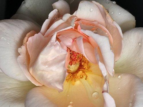 rosa  pistils  flower