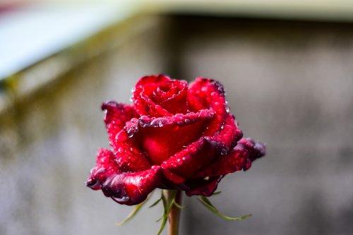 rosa  drops  water