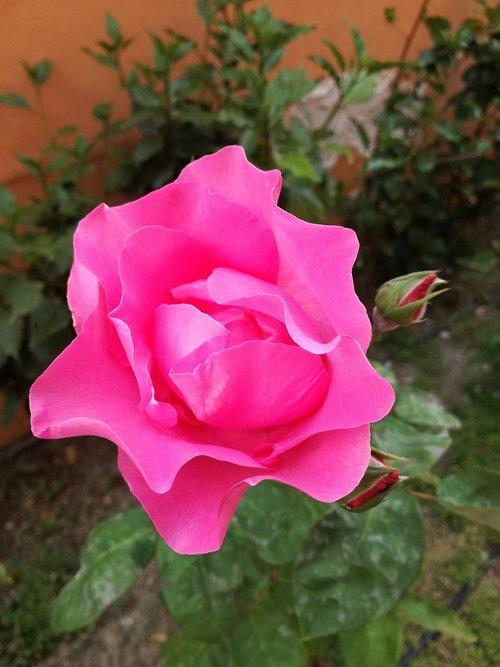 rosa  garden  pink