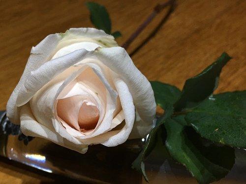 rosa  white petals  flower