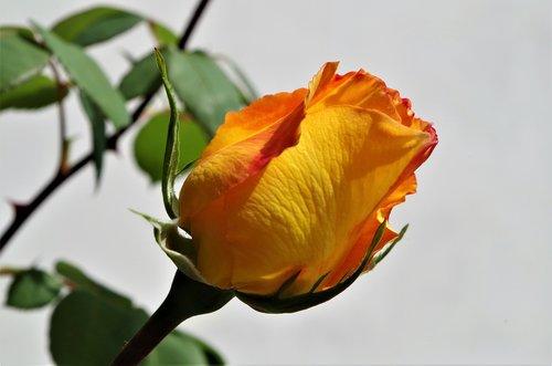 rosa  rose  flower