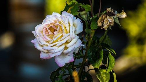 rosa  flower  plant