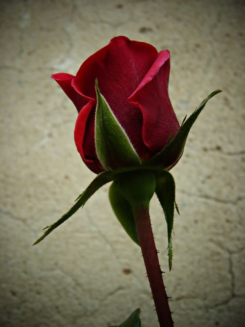 rosa red petals