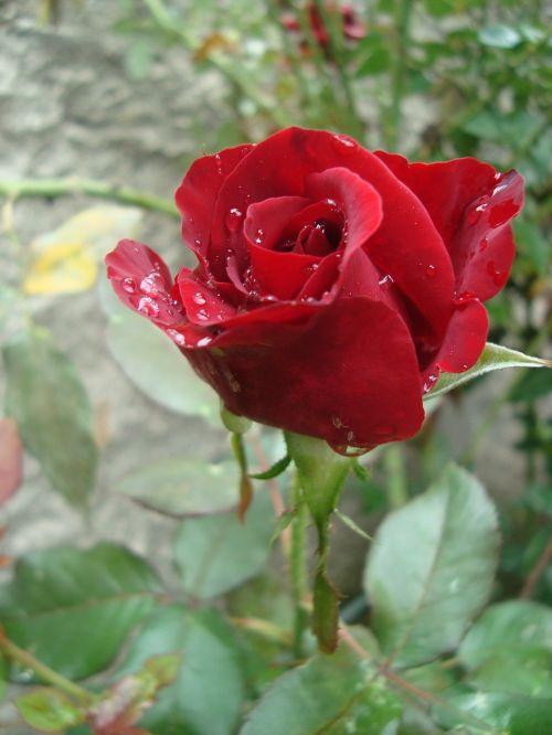 rosa,raudona,purkšti