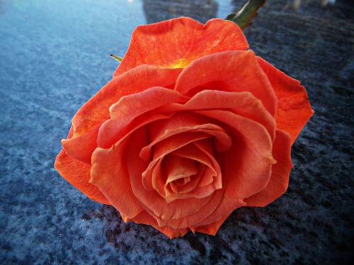 rosa pink orange petals