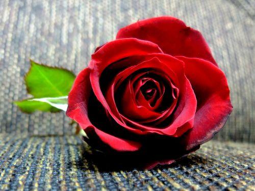 rosa romanticism romantic