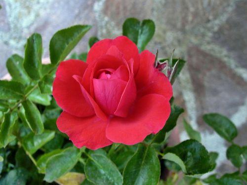 rosa rossa flower