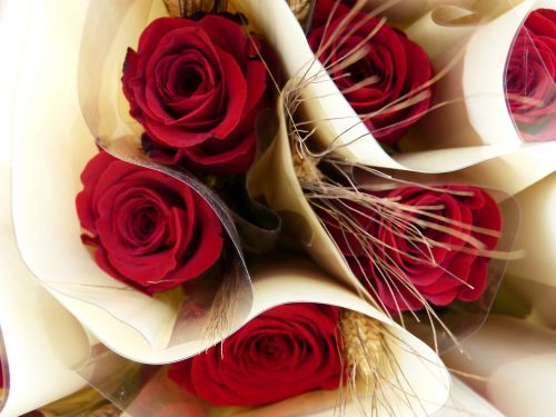 rosa stem red