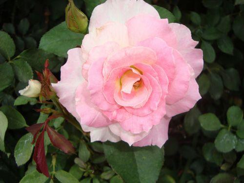 rosa flower red