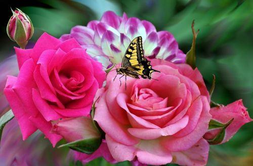 rosa roses pink