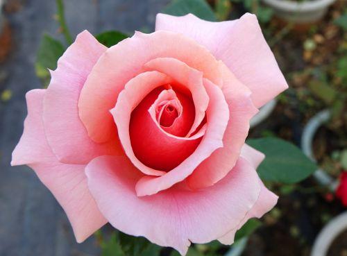 rosa multiflora rose a flower
