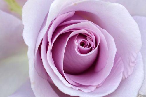 rosa multiflora rose purple