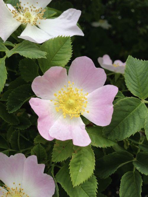 rosa rugosa potato rose wild rose