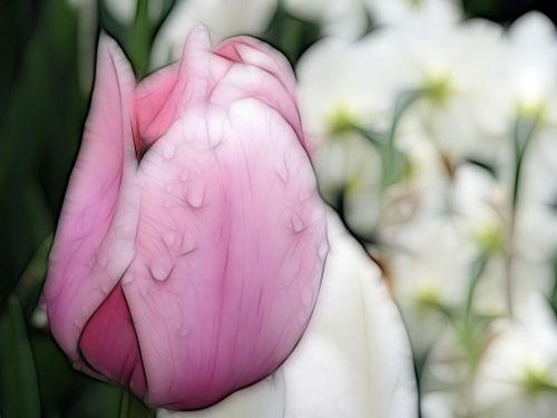 tulpė, gamta, gėlė, lietaus lašai, makro, gražus, tulpė & nbsp, sodas, keukenhof, fraktalius, rožinė tulpė su lietaus lašais