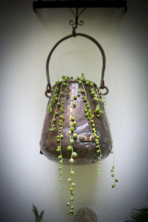 rosario plant flowerpot