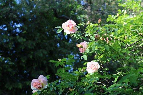 rosbuske  pink  rosebushes