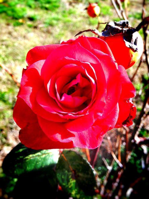 rose flower floral