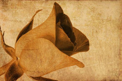 rose flower brown