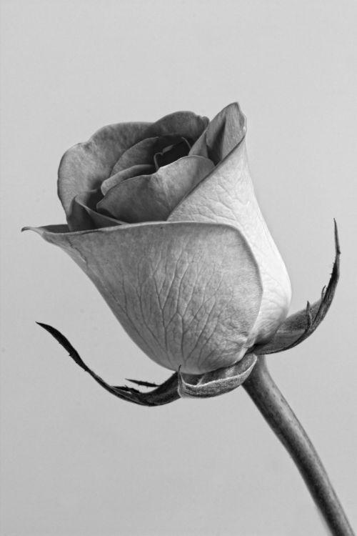 rose flower grey