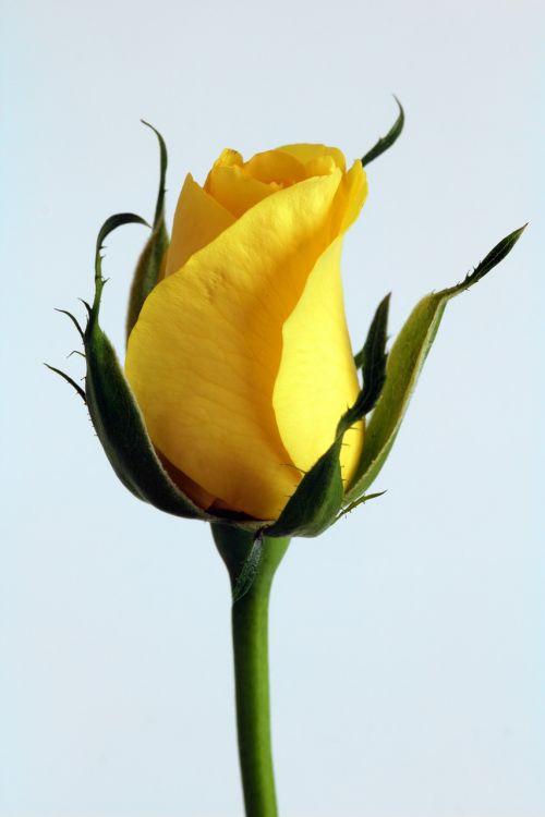 rose flower yellow