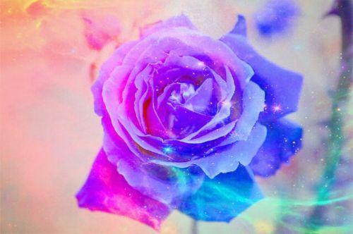 rožė,spalva,žiedas,žydėti,išaugo žydėti,gražus,fonas,žydėti,spalvinga