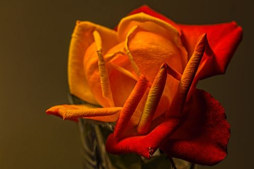 rose yellow romantic