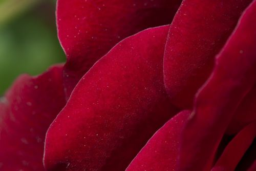 rose red red roses