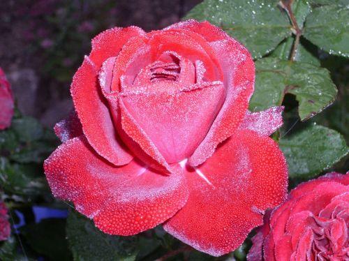 rose dew blossom
