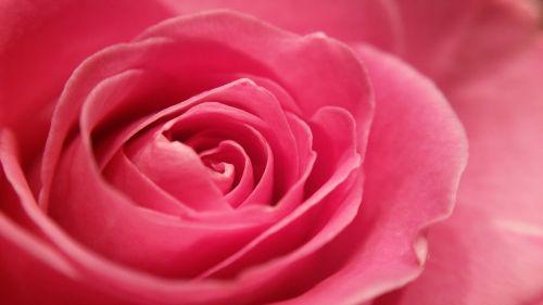 rožė,rožinis,makro,žiedas,žydėti,Uždaryti,sodas,išaugo žydėti