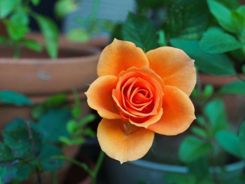 rose,huang,plant