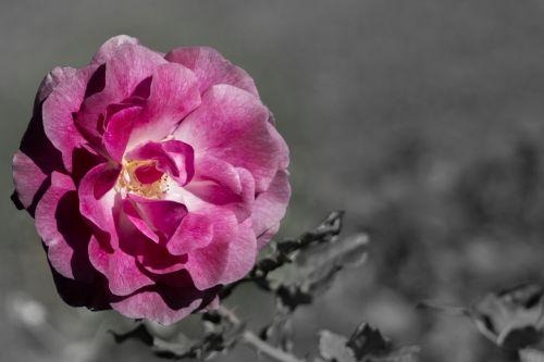 rose spot art elegant