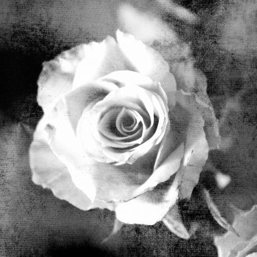 rose effect flower