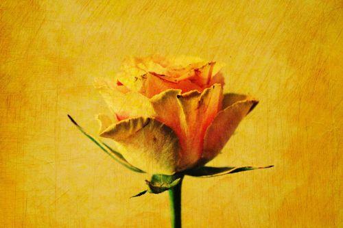 rose yellow effect