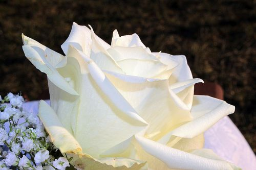 rose white rose blossom