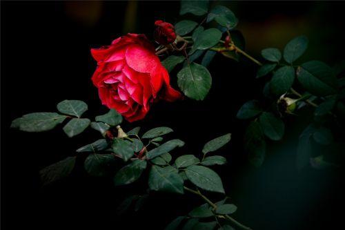 rose red dark
