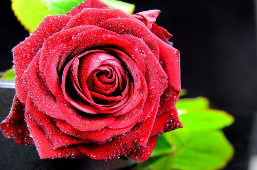 rose red nature