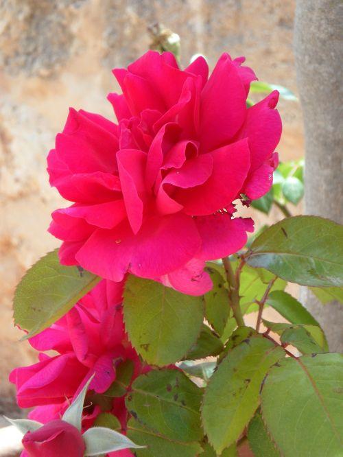 rožė,rožinis,gėlė,žiedas,žydėti,gaudy
