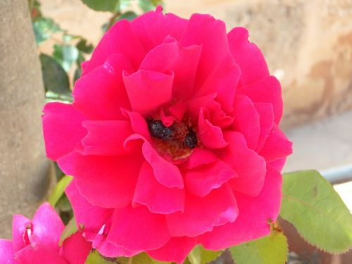 rožė,žiedas,žydėti,gėlė,gaudy,rožinis