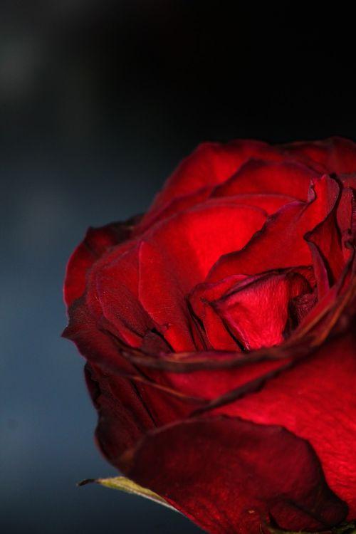rose dark red