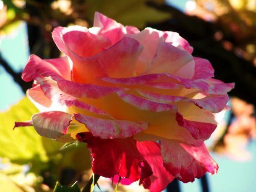 rose tricolor flower garden