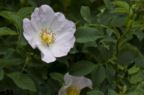 rose wild rose white
