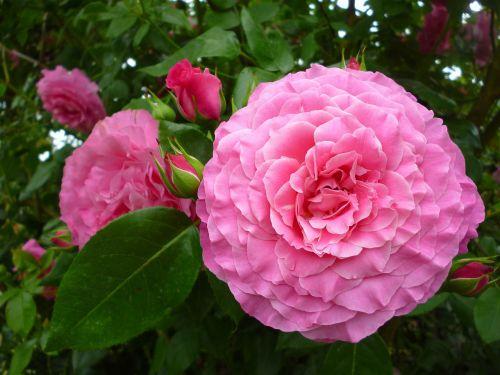 rose summer flower pink
