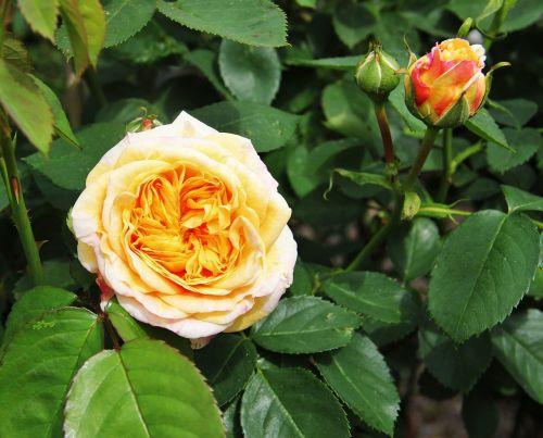 rose bloom and bud shrub rose