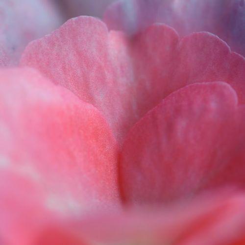 rose petal pink